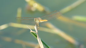 El insecto hermoso de la libélula que descansa sobre hierba verde en el lago el día de verano almacen de video