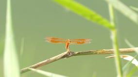 El insecto hermoso de la libélula que descansa sobre hierba verde en el lago el día de verano almacen de metraje de vídeo