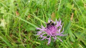 El insecto manosea la abeja en una violeta - flor rosada del prado Fotografía de archivo