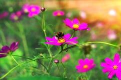 El insecto manosea la abeja poliniza la flor en la puesta del sol Fotografía de archivo