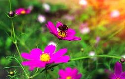 El insecto manosea la abeja poliniza la flor en la puesta del sol Foto de archivo libre de regalías
