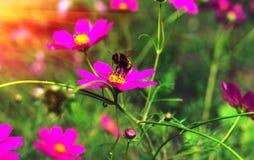 El insecto manosea la abeja poliniza la flor en la puesta del sol Fotos de archivo libres de regalías