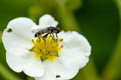 El insecto poliniza la flor Imagen de archivo