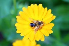 El insecto poliniza las flores del calendula Foto de archivo libre de regalías