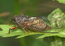 Insecto una cigarra Fotos de archivo libres de regalías