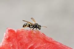 el insecto rayó la avispa que se sentaba en una sandía jugosa roja Foto de archivo libre de regalías