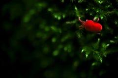El insecto rojo del ácaro del virus se arrastra en Moss Nature Macro Photogra verde foto de archivo libre de regalías