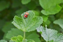 El insecto rojo dos se est? acoplando en una hoja de un arbusto de pasa, una de ellos anaranjados y sin los puntos imagenes de archivo