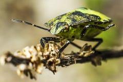 El insecto verde del soldado (hilare de Acrosternum) Imagenes de archivo