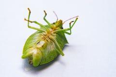 El insecto verde muerto del vuelo llamó percevejo Imagenes de archivo