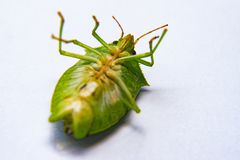 El insecto verde muerto del vuelo llamó percevejo imagen de archivo libre de regalías