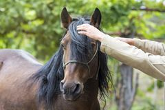 El intentar peinar un caballo díscolo fotografía de archivo libre de regalías