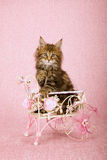 El interior que se sentaba del gatito de Maine Coon del gato atigrado de Brown adornó el carro del metal blanco en fondo rosado Foto de archivo