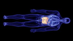 El intestino delgado humano