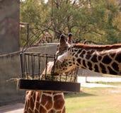 El introducir de dos jirafas Fotos de archivo libres de regalías