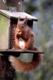 El introducir de la ardilla roja Foto de archivo libre de regalías