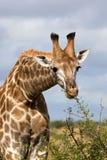 El introducir de la jirafa foto de archivo libre de regalías