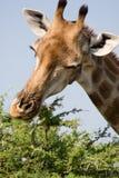 El introducir de la jirafa Fotos de archivo libres de regalías
