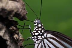 El introducir de la mariposa Fotos de archivo