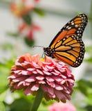 El introducir de la mariposa de monarca Foto de archivo libre de regalías