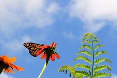 El introducir de la mariposa de monarca foto de archivo
