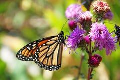 Alimentación de la mariposa de monarca foto de archivo