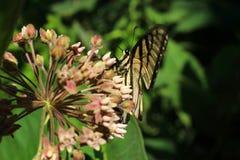 El introducir de la mariposa de Swallowtail del tigre Fotos de archivo