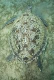 El introducir de la tortuga verde de la hembra adulta. Imagen de archivo