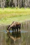 El introducir de los alces de la vaca Foto de archivo libre de regalías