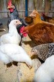 El introducir de los pollos imagenes de archivo