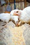 El introducir de los polluelos foto de archivo