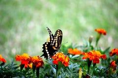 El introducir de Swallowtail Imagenes de archivo