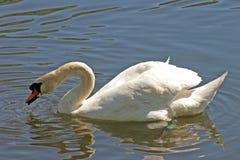 El introducir del cisne imagenes de archivo