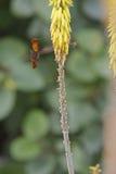 el introducir del colibrí del Rubí-topaz Imagen de archivo