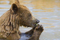 El introducir del oso Foto de archivo