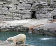 El introducir del oso polar Imagen de archivo