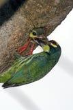 El introducir del pájaro Fotografía de archivo
