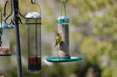 El introducir del pájaro Imágenes de archivo libres de regalías