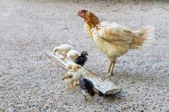 El introducir del pollo del ganado fotos de archivo