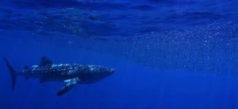 El introducir del tiburón de ballena. Imagen de archivo libre de regalías