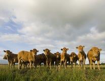 El introducir holandés de las vacas Fotos de archivo
