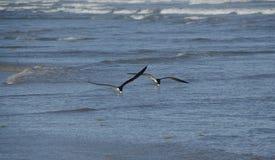 El introducir negro de los pájaros de la desnatadora Foto de archivo
