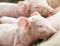 El introducir recién nacido de los cerdos Imágenes de archivo libres de regalías