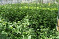 El invernadero del grandiflorum del lisianthus planta por completo agricultura del invernadero de la horticultura fotos de archivo libres de regalías