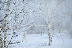 El invierno vino, los árboles - abedules en la nieve Imagen de archivo