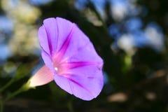 El Ipomoea es una decoración brillante del jardín Planta que sube agraciada con las flores grandes elegantes foto de archivo