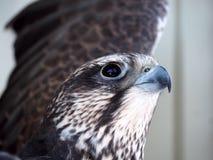 El ir serio de Eagle a volar encima de drom de la opinión del retrato abajo en el whi Foto de archivo