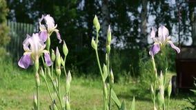 El iris apacible florece en el jardín en el patio trasero metrajes