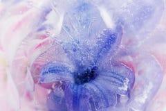 El jacinto congelado de la lila en hielo Imagen de archivo