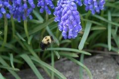 El jacinto de uva y manosea la abeja Fotos de archivo libres de regalías